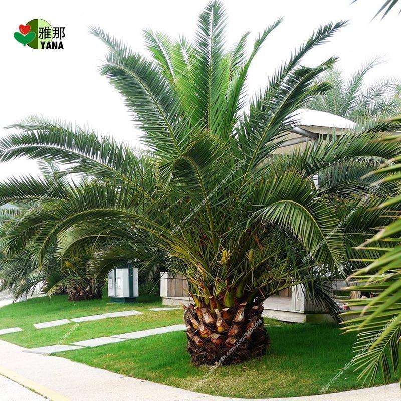Phoenix canariensis RHS AGM Winner. - 10 seeds Canary Island Date Palm