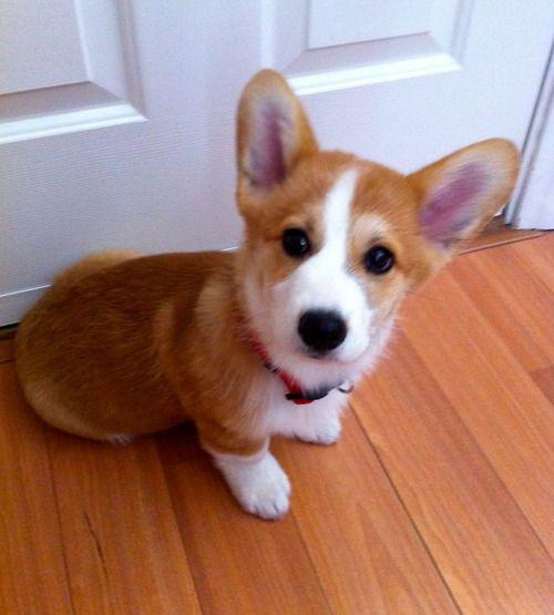 Stu Is Waiting For U Corgi Cute Dogs Cute Animals