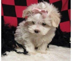 Teacup Maltipoo Puppies Maltipoo Puppy Cute Baby Animals Cute Puppy Photos