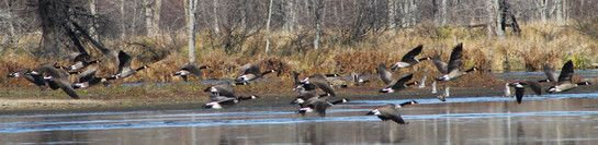 As the backwaters begin to ice over in the fall, Canada Geese and migrating waterfowl move into smaller open water spaces providing fantastic photo ops. | #birdwatching #bucketlist #WIGreatRiverRd | WISCONSIN Great River Road