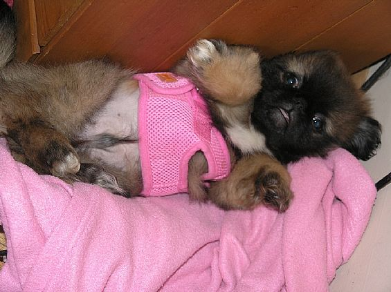 Pekingese Pups Pet Dog Puppies For Sale In Averill Park Ny A00047