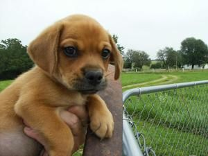 Adopt Keepsake B On Pekingese Dogs Puppies Beagle Mix