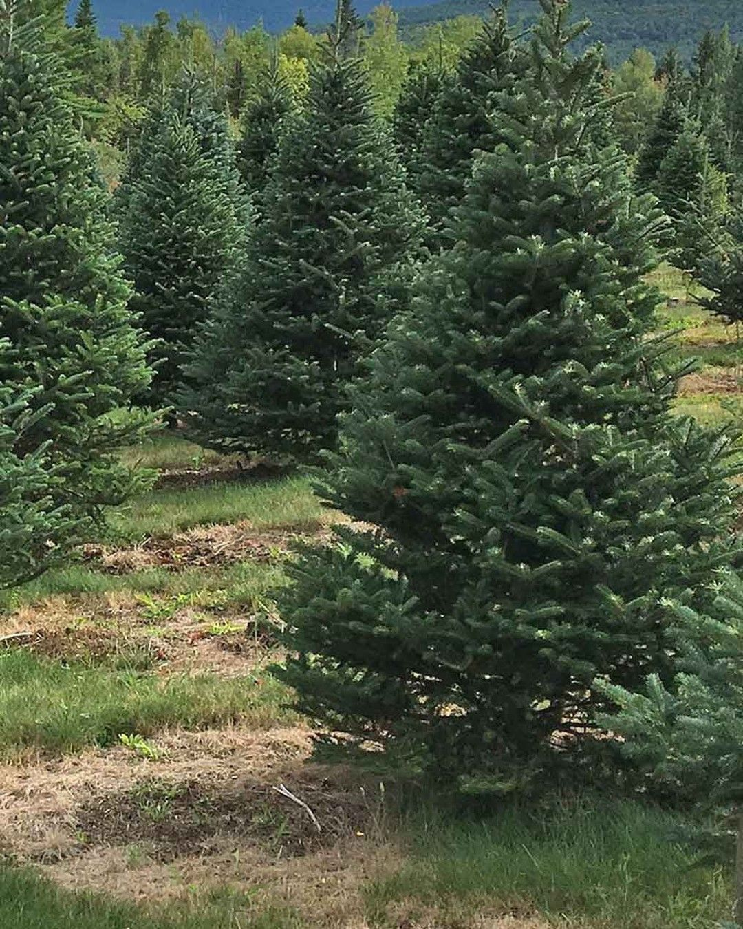 Sheffieldsseed Posted To Instagram Balsam Fir Tree Farm Best Christmas Tree Ever Chistmastree Treeseed Cool Christmas Trees Balsam Fir Tree Tree Farms