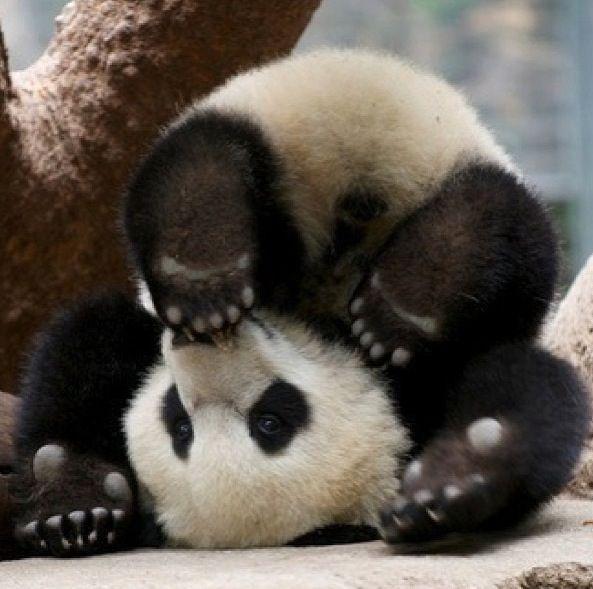 upside down! #panda #cuteoverload