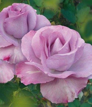 Perfume Rose u0027Mamy Blue ®u0027 rosas Pinterest Rose, Englisch
