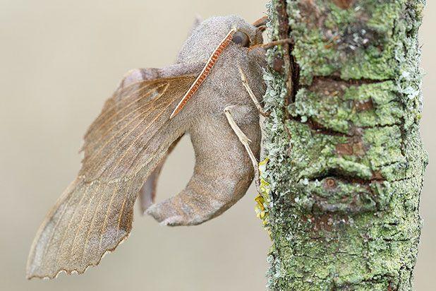 populierenpijlstaart vlinder