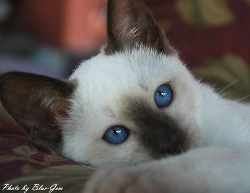 Blue Gem S Siamese Photo Gallery Siamese Kittens Kittens Cute Cats