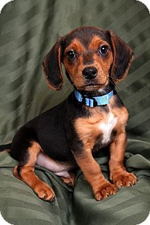 St Louis Mo Beagle Dachshund Mix Meet Milo Beagle Mix A Puppy