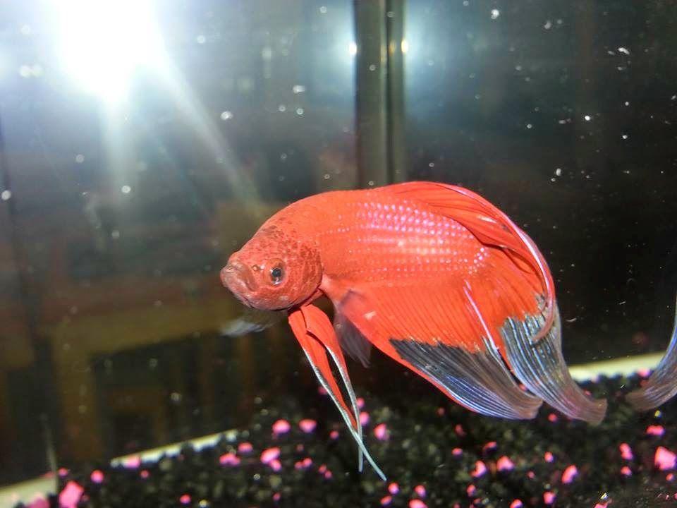I Love Betta Fish How To Catch Your Betta Safely Betta Betta Fish Fish Pet