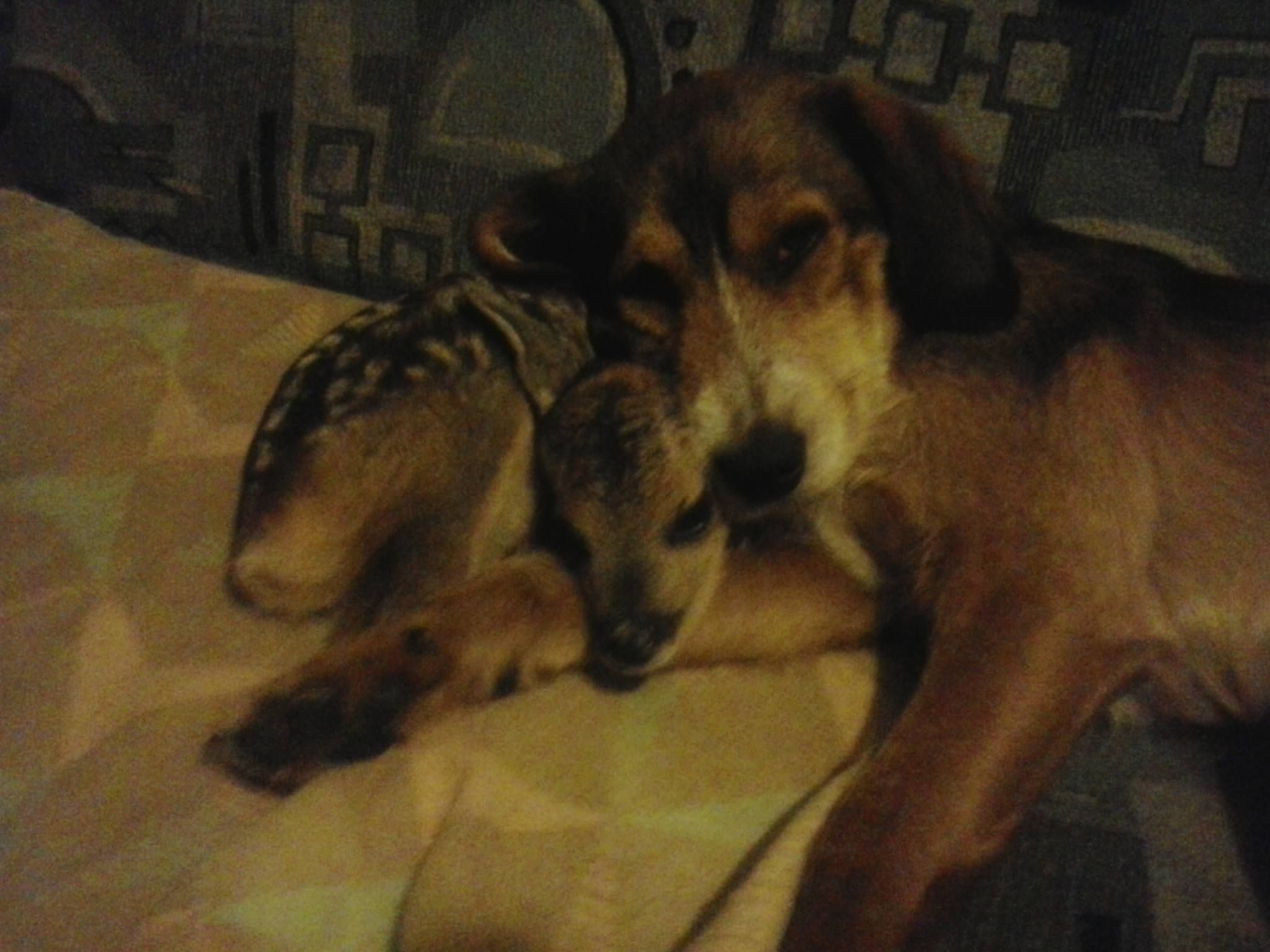 Ivana Petran Maslačak: I had simmilar eperience  we found her half dead, only 1.5 kilo in weight, but we raised her. This is my dog napping wit her, he accepted her from day one, and took care of her
