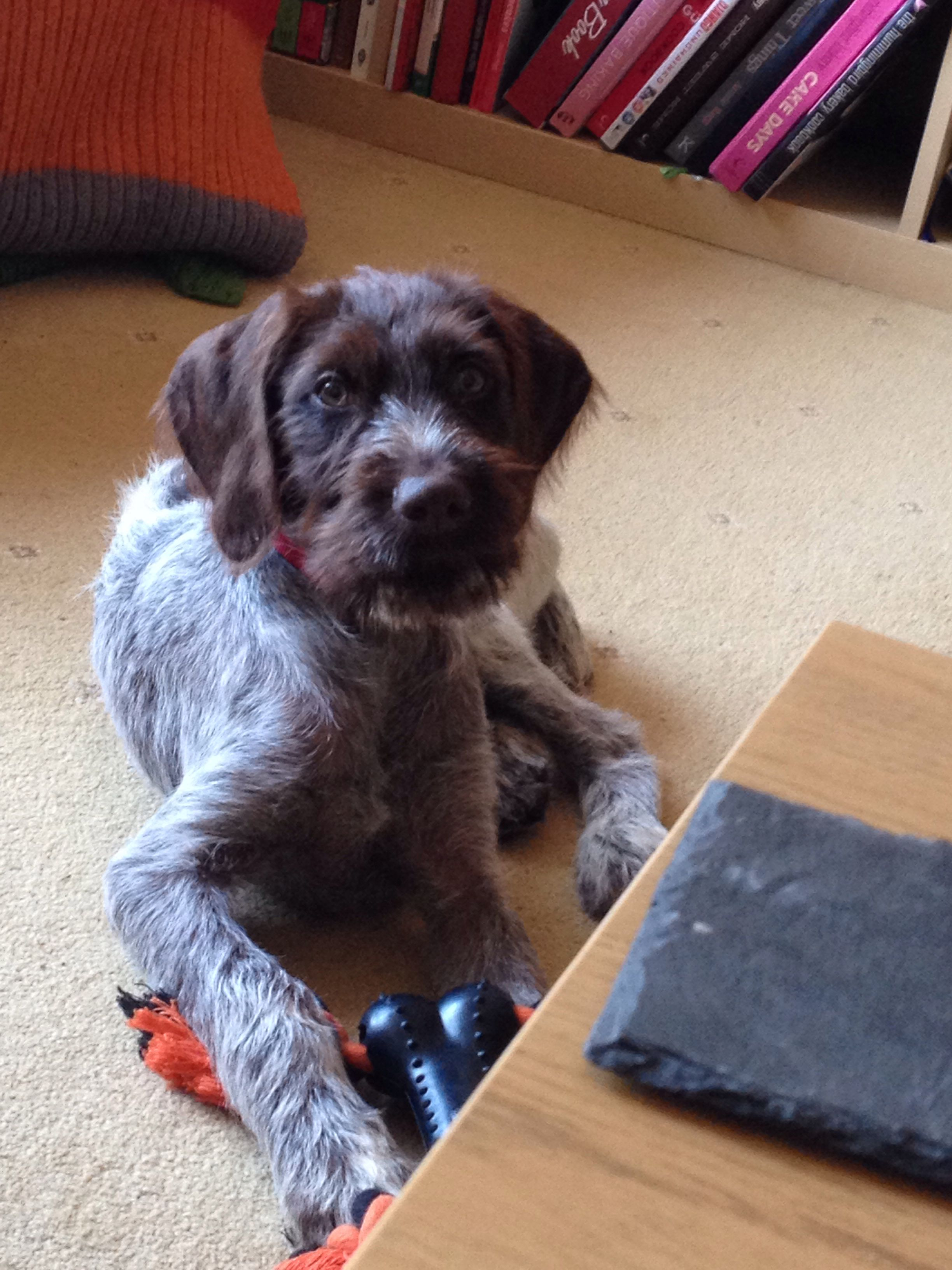 German Wirehaired Pointer pup   German wirehaired pointer ...