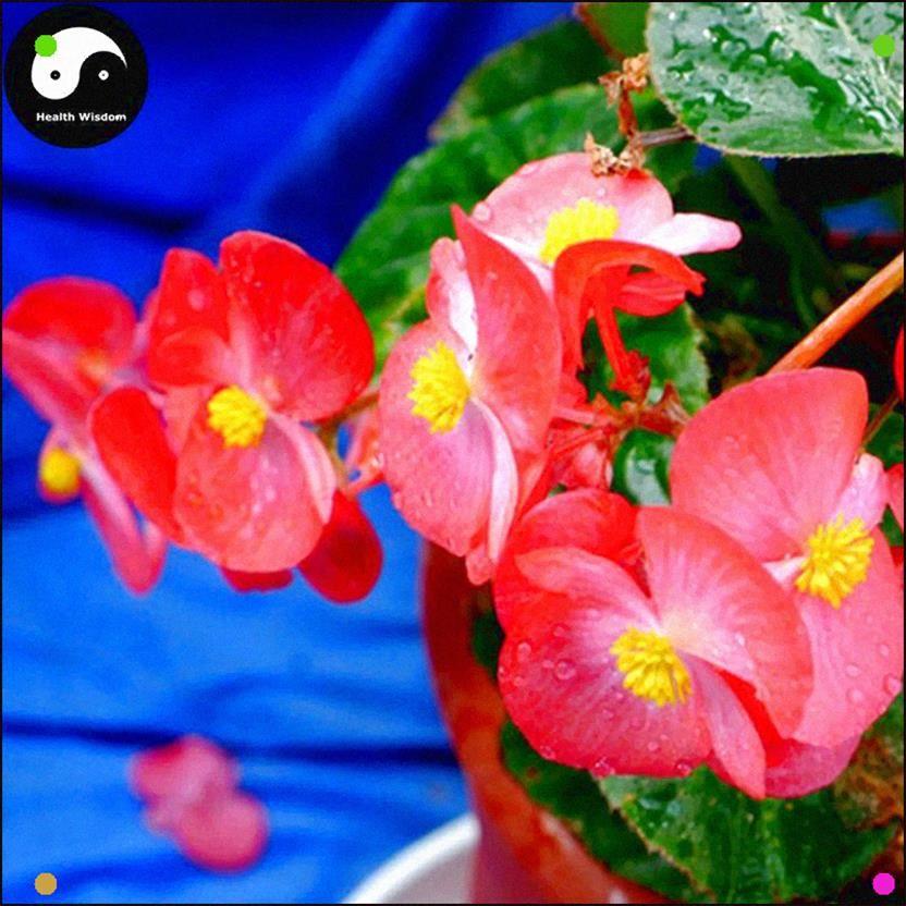 Buy Begonia Semperflorens Flower Seeds 60pcs Plant Flower Garden Begonia Flower Seeds Flower Seeds Online Flower Bed Plants