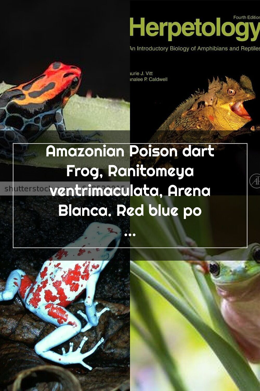 Amazonian Poison Dart Frog Ranitomeya Ventrimaculata Arena Blanca Red Blue Poisonous Animal From The Amazon Rain For In 2020 Dart Frog Poison Dart Frogs Poison Dart