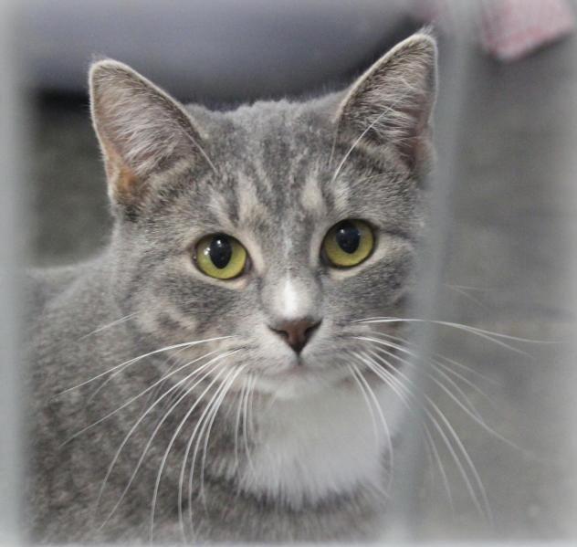 Adopt Gravy On Petfinder Grey Tabby Cats Grey Kitten Cat Adoption