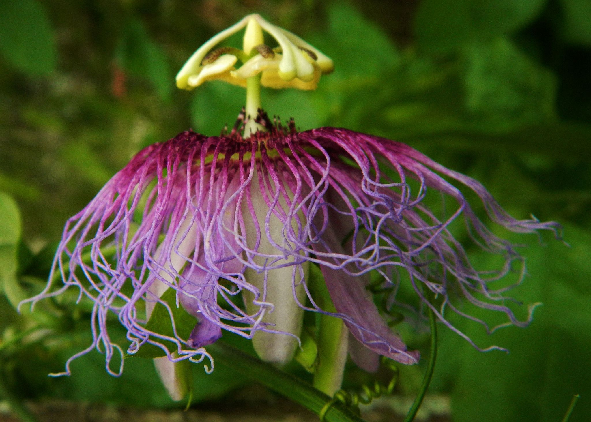 Fragrant Passion Flower Passiflora Serratifolia Is A Tropical Vine With Pleasantly Scented Flowers And Edible Frui Passion Flower Butterfly Plants Passiflora