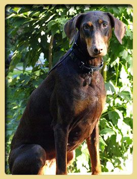 Hand Me Down Dobes Ohio Doberman Rescue Doberman Dogs
