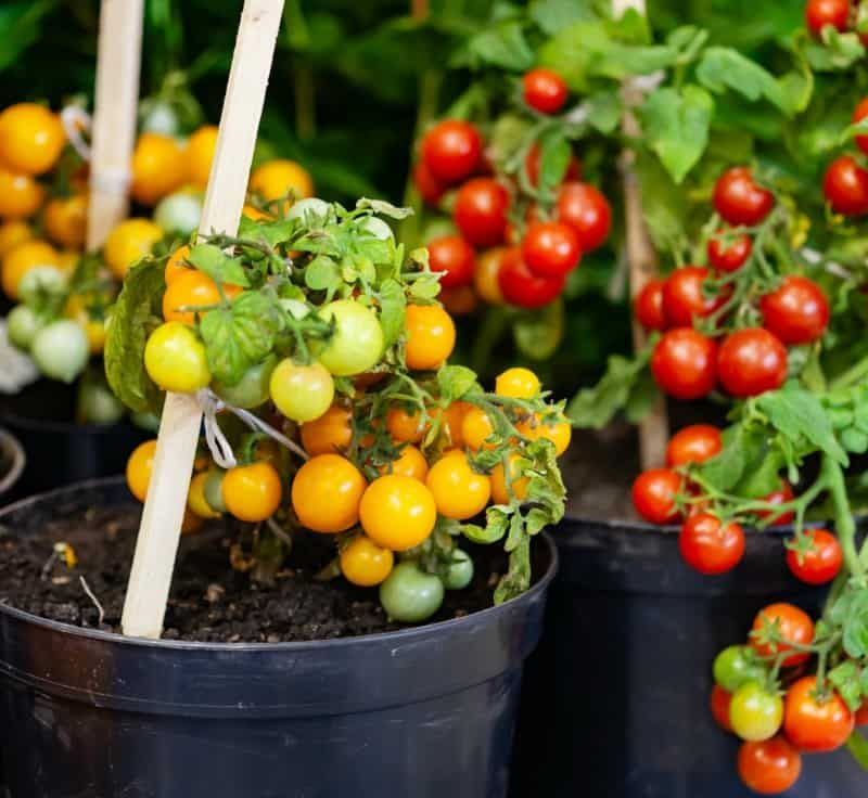 Easy Vegetables To Grow In Pots Great For Small Spaces Easy