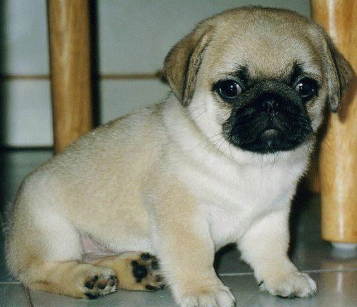Why Pugs Are The Perfect Family Pet Cute Baby Pugs Baby Pug Dog