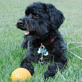 A Schnoodle That Looks Just Like Dodger Awwww Winston And Pete