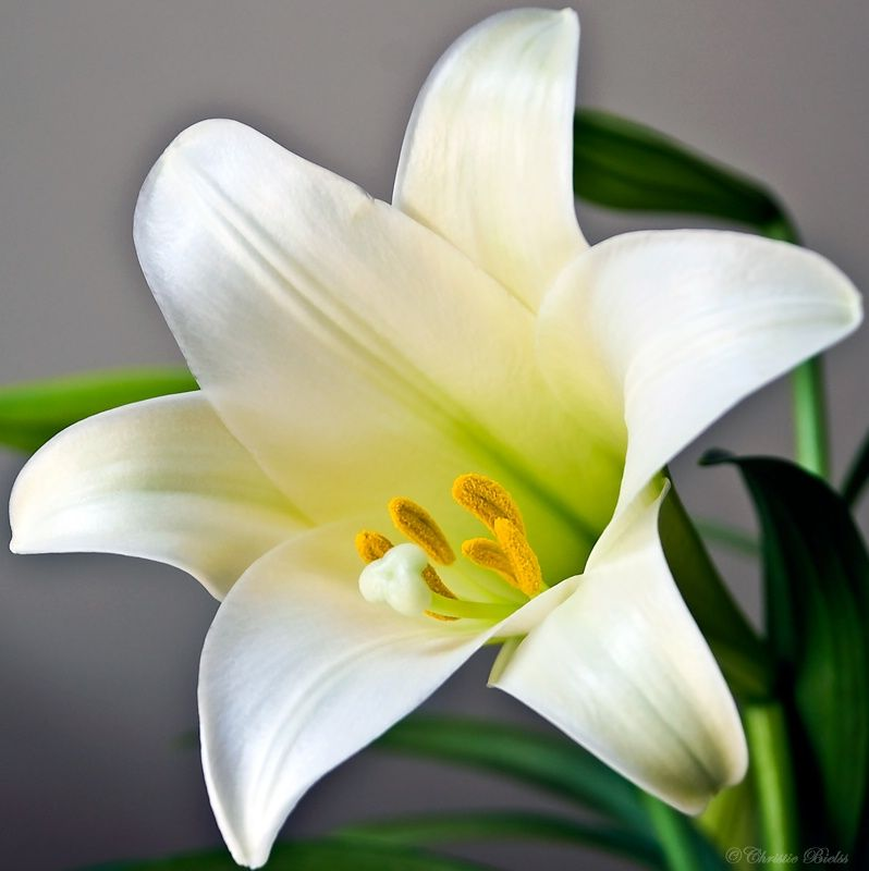 Lets Learn About Flowers Easter Lilies About Flowers Pinterest