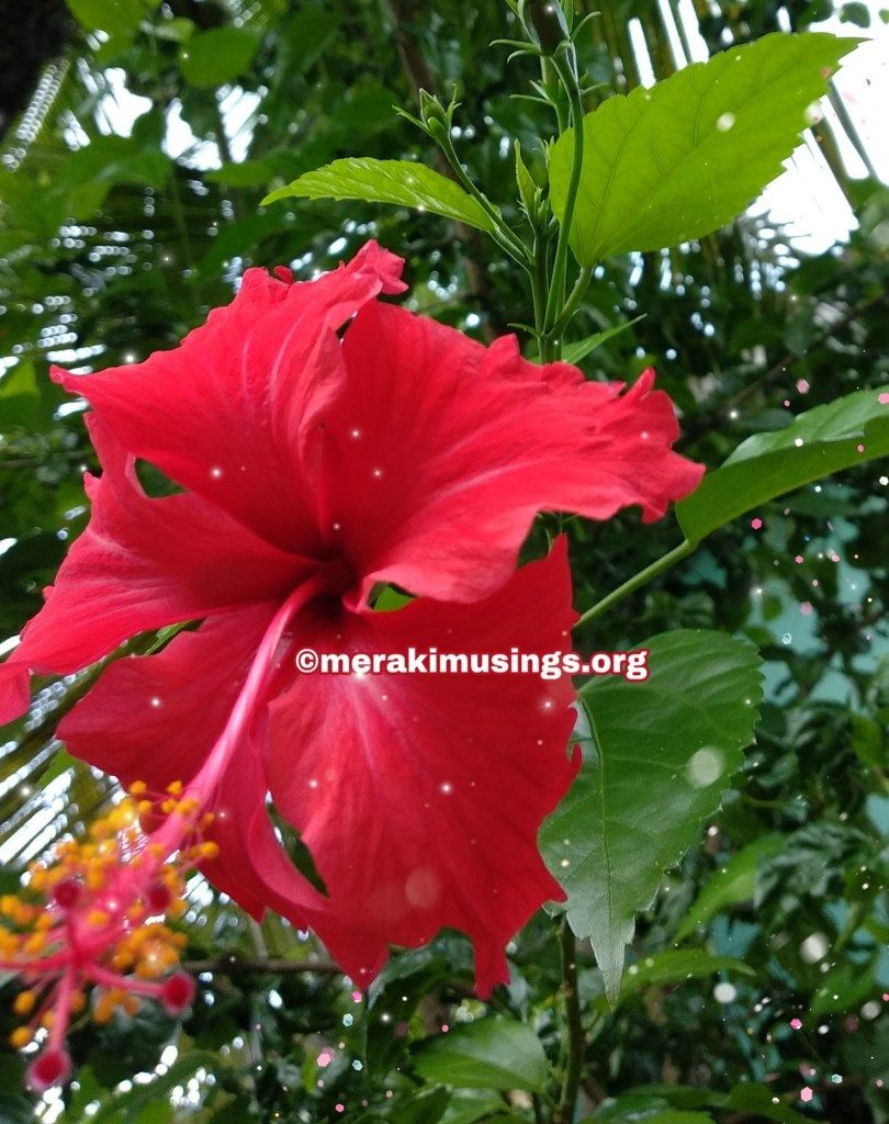 Hibiscus For Hair Growth And Its Amazing Benefits With Images Hibiscus Reduce Hair Fall Hibiscus Flowers