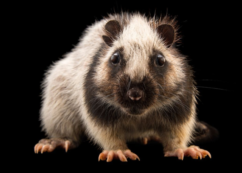 The Northern Luzon Giant Cloud Rat Is Found Only On Luzon Island