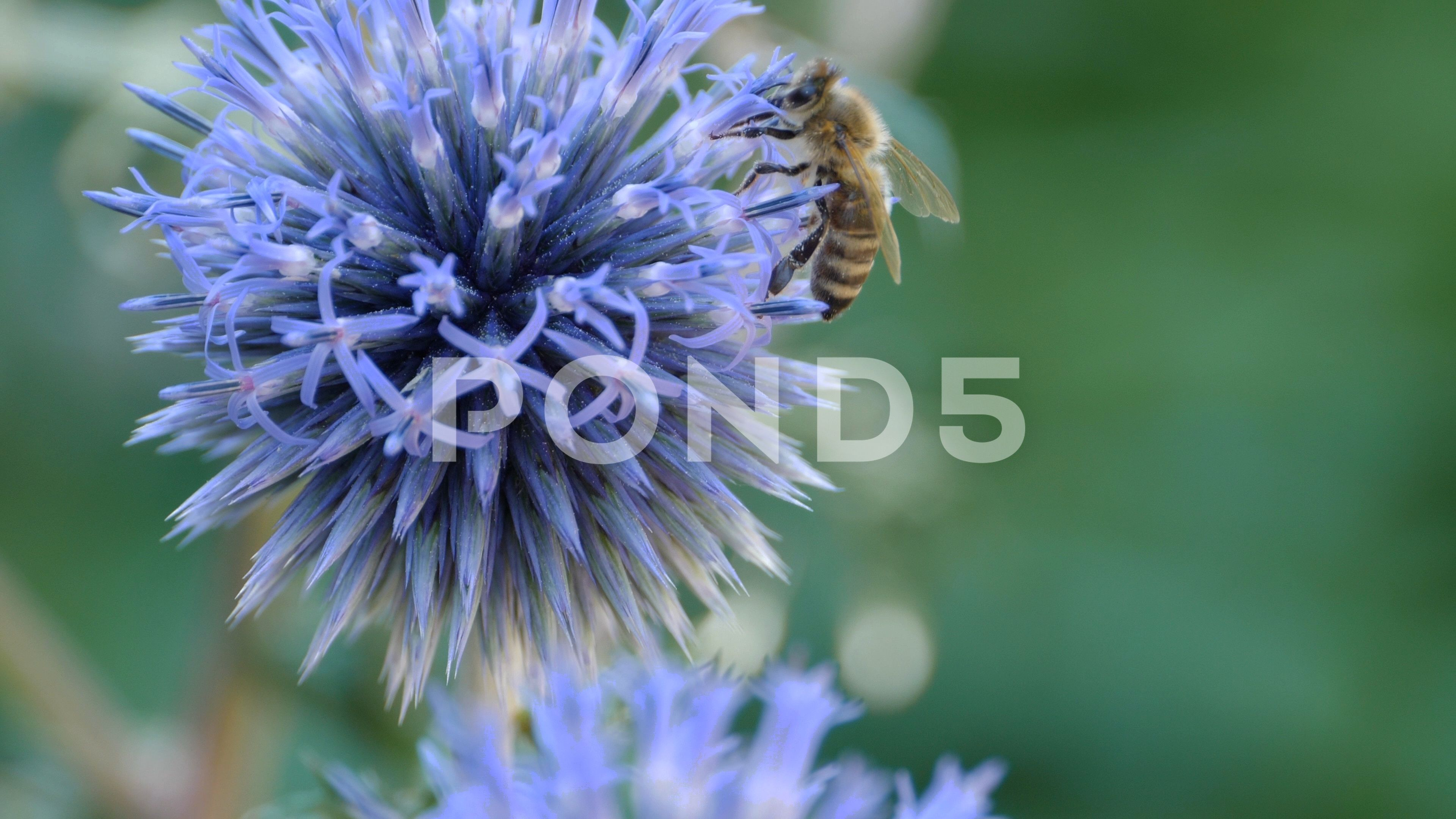Macro Bee Collecting Nectar From Thistle Flower 4k Stock
