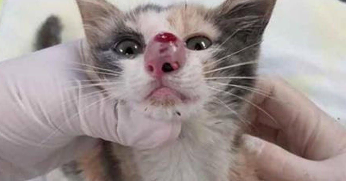 Their Kitten S Nose Was Swelling At Rapid Rate Then Their Vet Removes This From It Kittens Baby Kittens Kitten