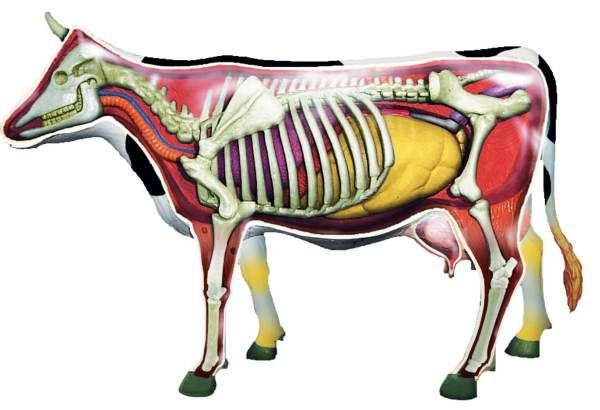 4D Cow Anatomy Model
