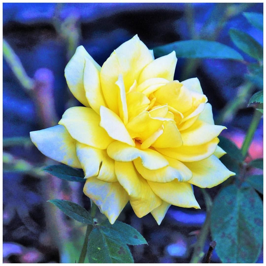 Yellowrose Painting Bobbydaleearnhardt.com