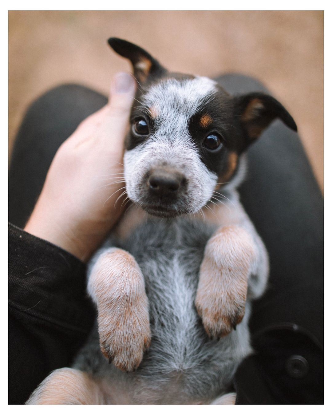 37k Likes 708 Comments Forrest Mankins Forrestmankins On Instagram My New Friend Penny Heeler Puppies Cute Dogs