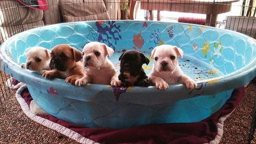 French Bulldog Puppy For Sale In London Oh Adn 27648 On