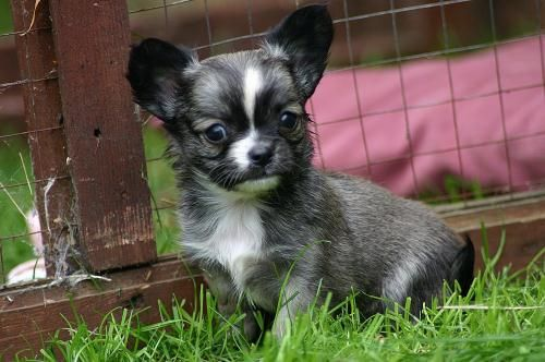 Kennel Club registered chihuahua for sale, Male, 13