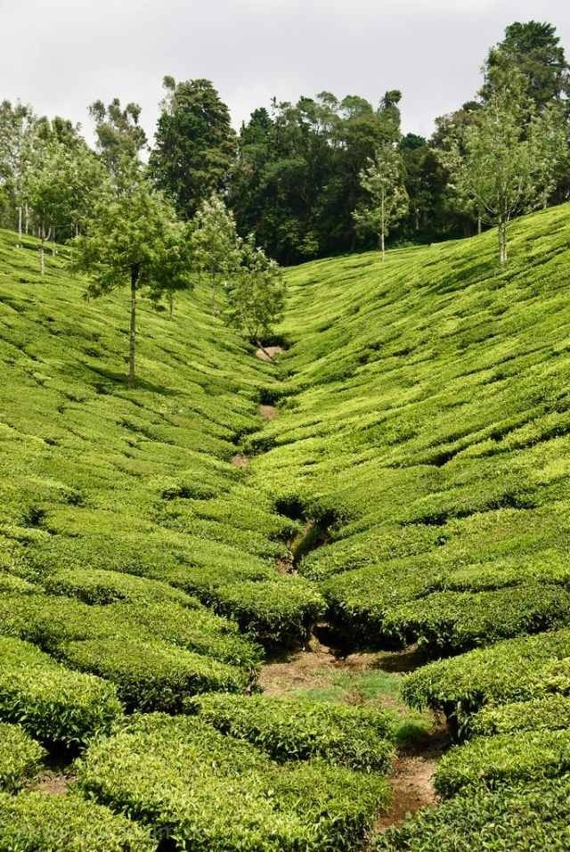 Pin on Tea fields
