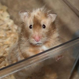 Long Haired Hamster Colors 5