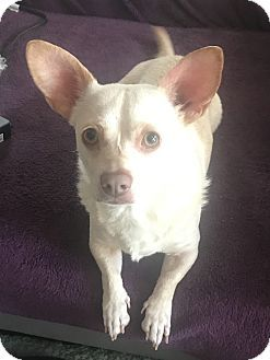 Mandeville La Corgi Chihuahua Mix Meet Tika A Dog For