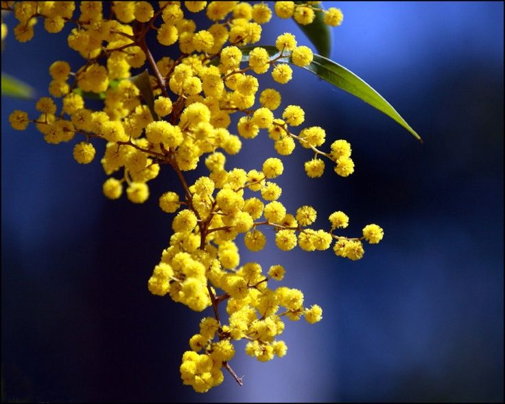 Golden Wattle balls Small trees, Planting flowers