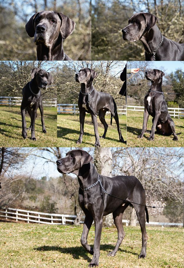 Adoptable Danes Great Dane Rescue