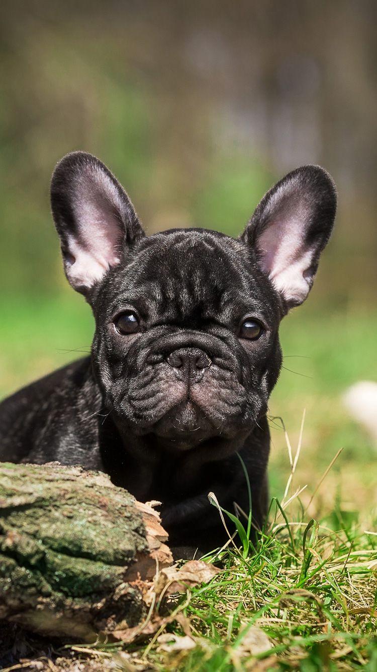 French Bulldog Puppy Bulldog French Bulldog Blue French Bulldog