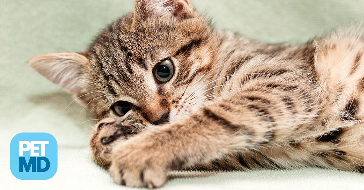 Kneading is natural, instinctual, and common cat behavior