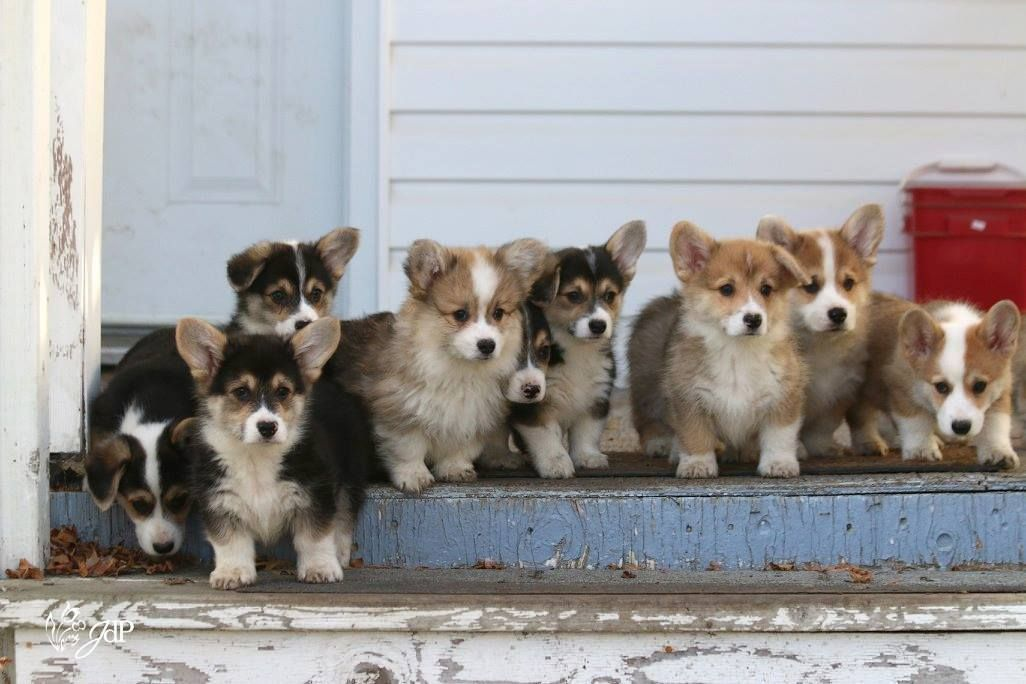 The Queens — Firefly litter at 9 weeks old. at...
