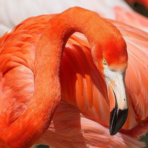 Roter Flamingo   American flamingo (Phoenicopterus ruber), c…   Flickr