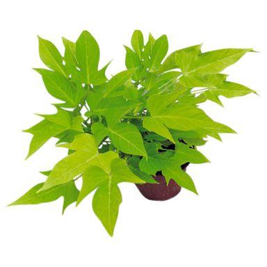 Wilec Ziemniaczany Mix 15 30 Cm Kwiaty Balkonowe I Ogrodowe W Atrakcyjnej Cenie W Sklepach Leroy Merlin Plant Leaves Plants Herbs