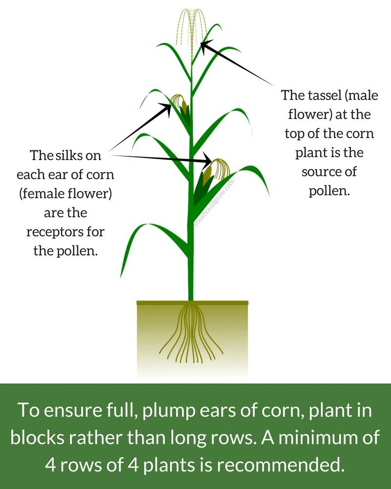 Growing Corn For The Sweetest, Plumpest Ears | Gardens | Pinterest ...