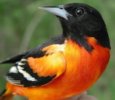 Eastern Oriole Birds Oriole Bird Baltimore Birds