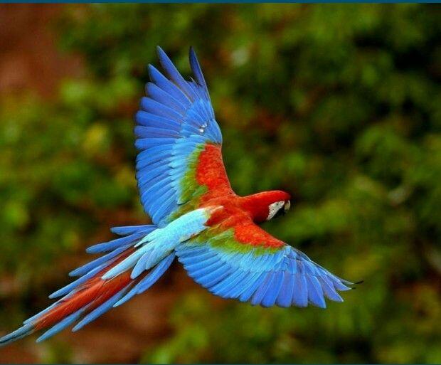 Papagallos Colombia. Mayor variedad de pajaros en el mundo
