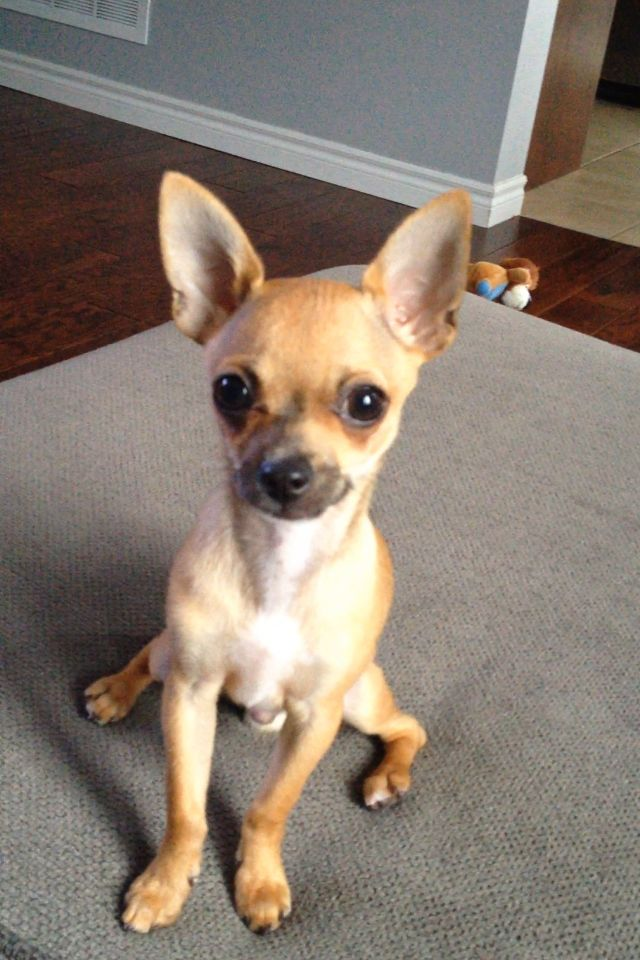 short hair deer head chihuahua
