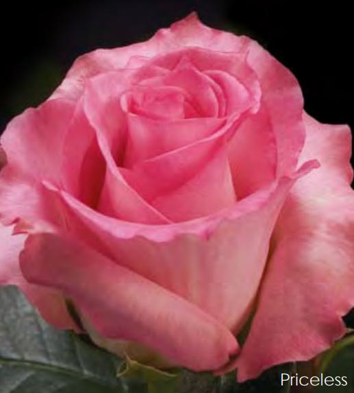 rosaprima rose priceless flowers for melissa s wedding