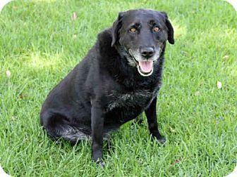 Irvine, CA - Labrador Retriever Mix. Meet HARLEY, a dog for adoption. http://www.adoptapet.com/pet/13241715-irvine-california-labrador-retriever-mix