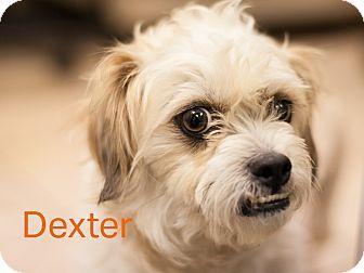 Dallas Tx Shih Tzu Mix Meet Dexter A Dog For Adoption Http
